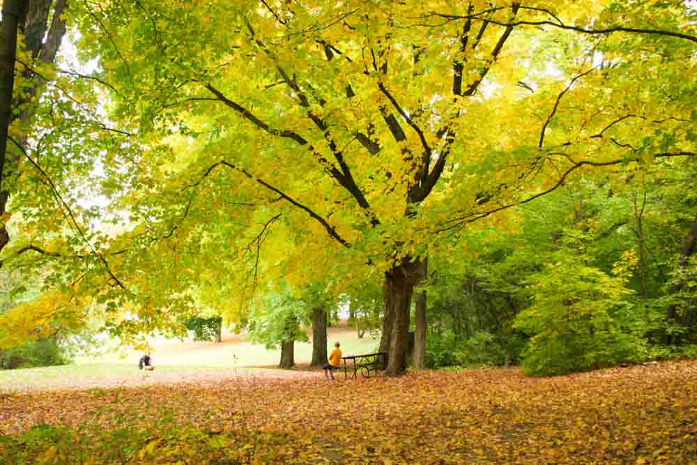 Giant maple trees glow yellow over Winonas hiking trails in the fall.